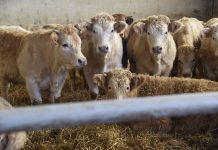 vitelli carne bianca
