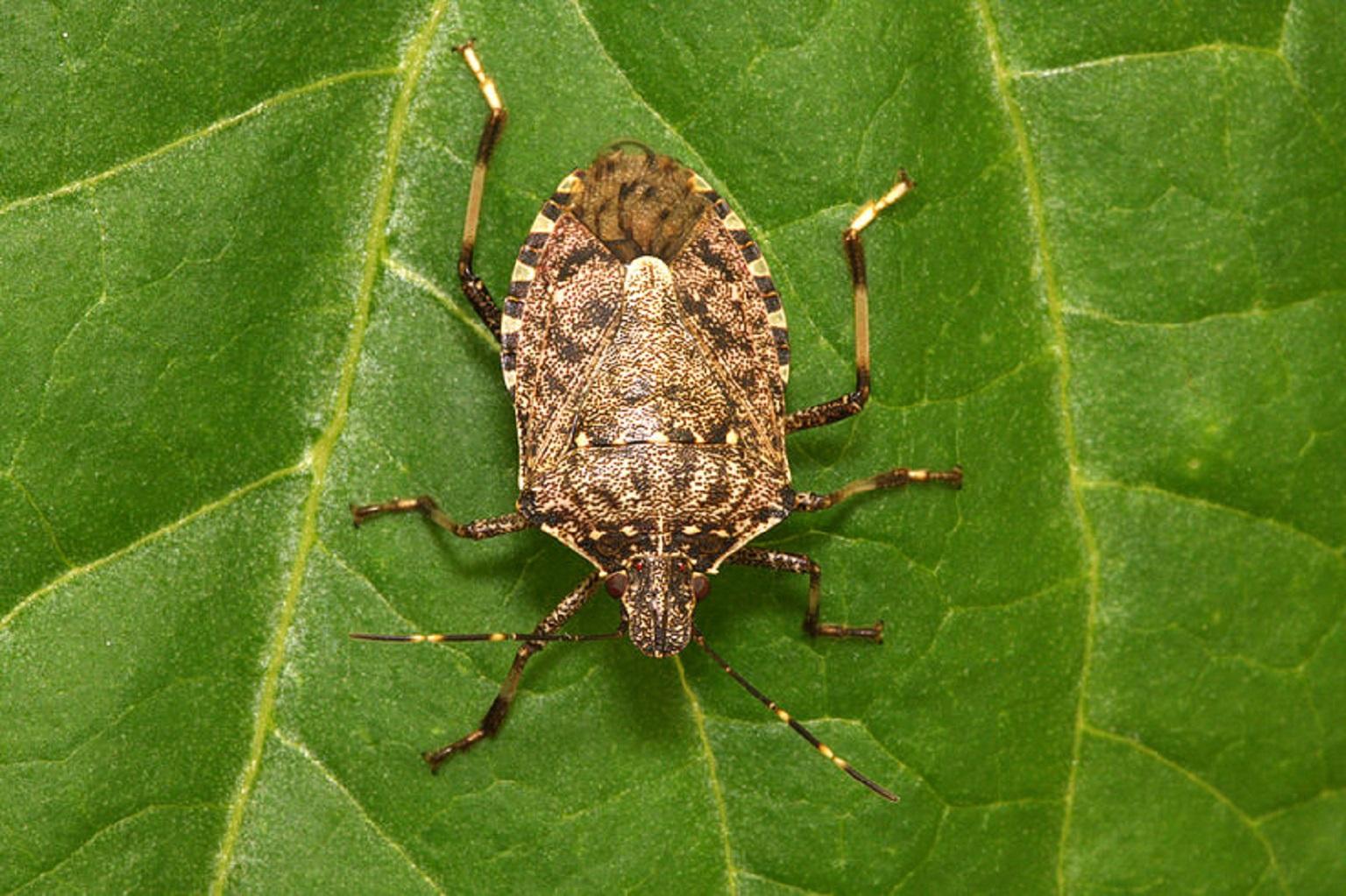 Cimice asiatica reti anti-insetto