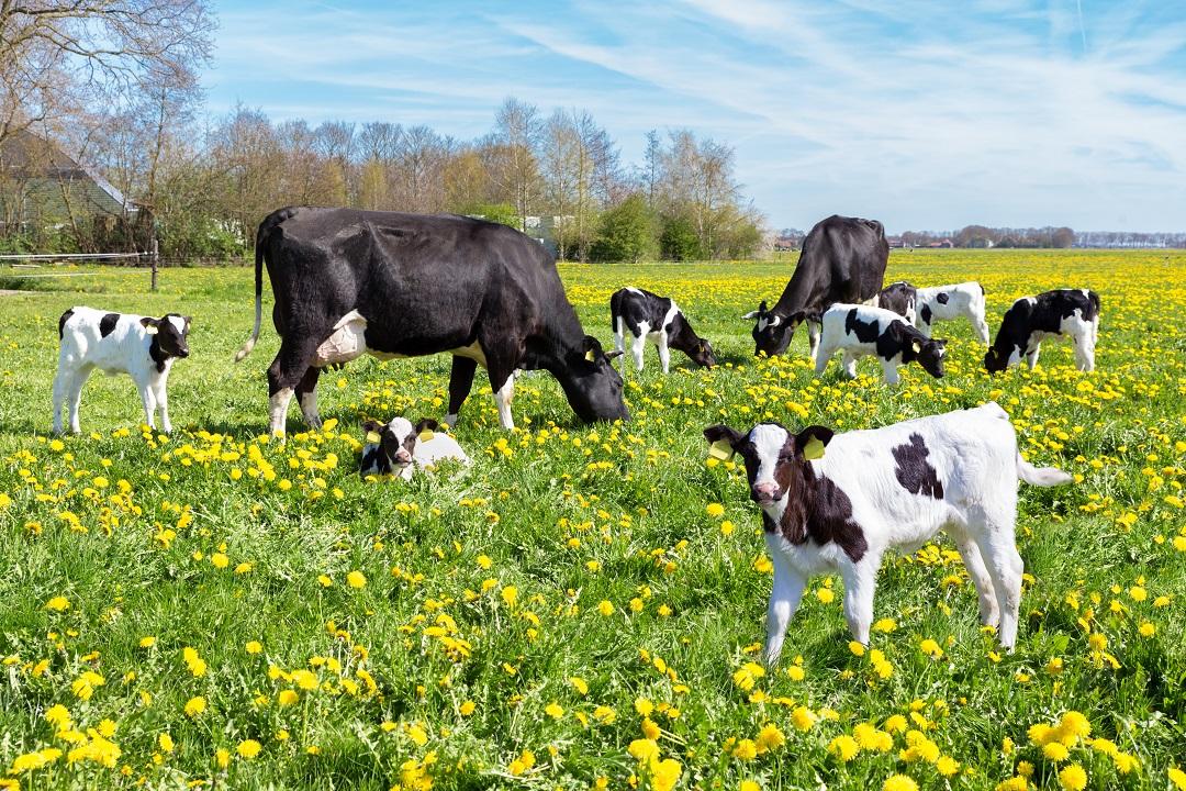 vitelli a carne bianca
