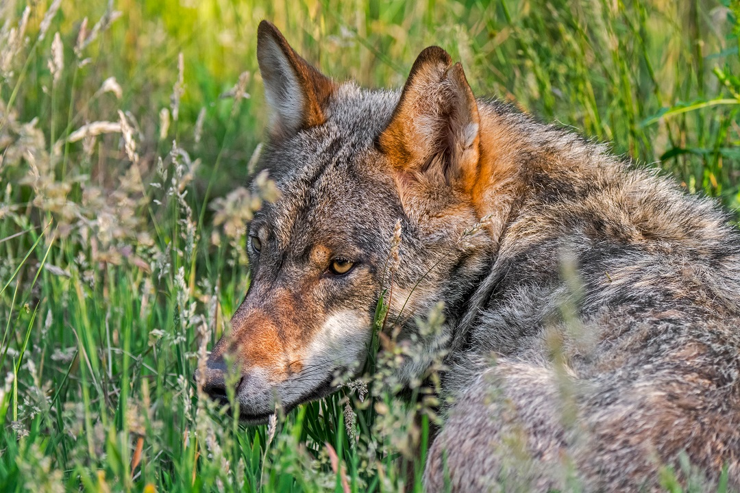 Presenza lupi tutela zootecnia